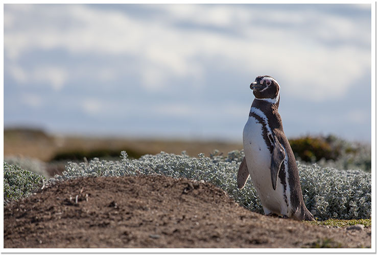 Pingüino en Otway