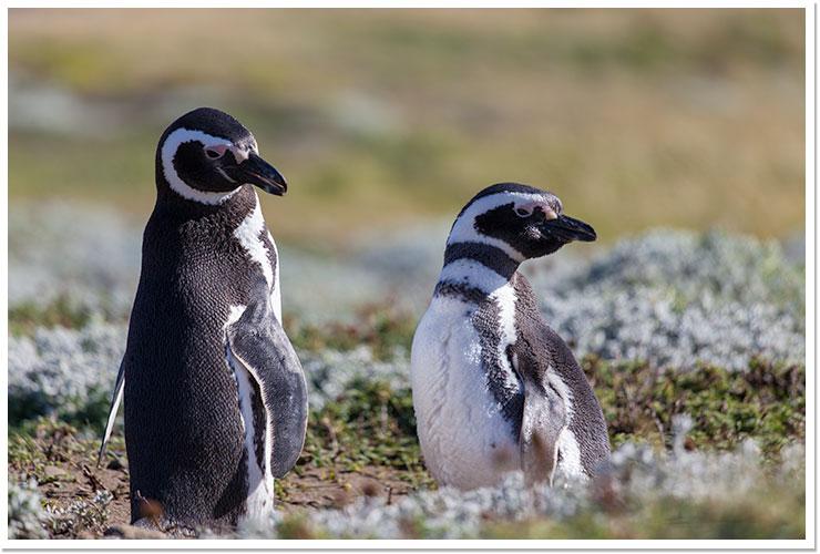 Pingüinos - Otway