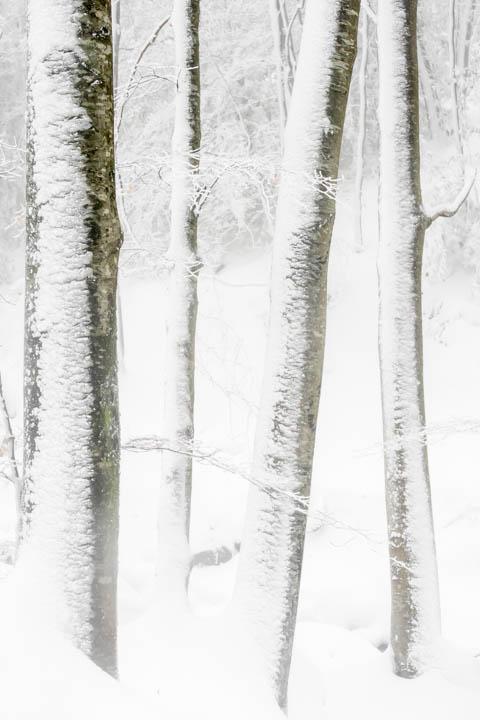 Hayas nevadas en el Montseny
